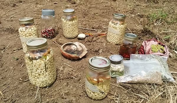 Kanienkeha:ka (Mohawk) Flint Corn Seed-Saving & Education Project